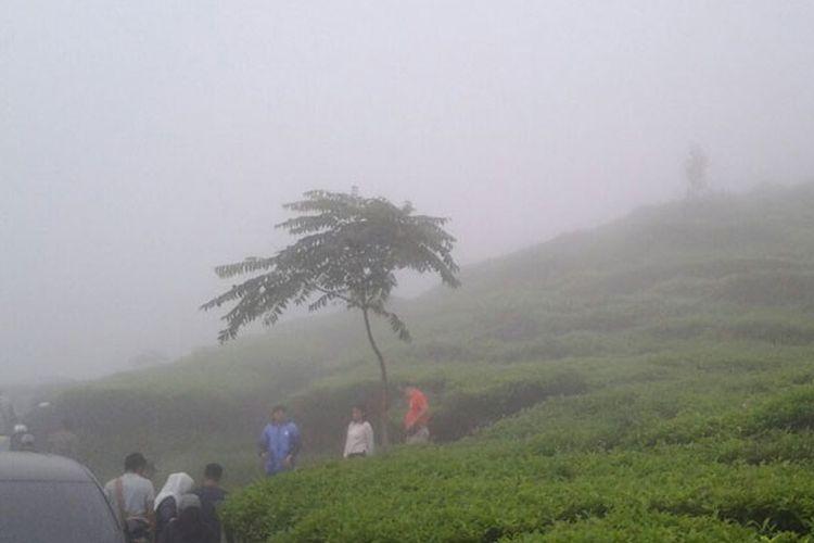 Kebun teh Medini di Kecamatan Limbangan, Kendal, Jawa Tengah dengan luas sekitar 386 hektar.