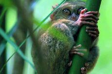 Mengenal Tarsius, Monyet Kecil yang Menggemaskan