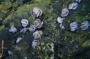 Para Induk Gurita 'Berkumpul' di Lepas Pantai Kosta Rika, Ada Apa?
