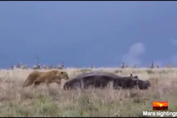 Seekor singa terlihat mengendus-endus seekor kuda nil yang sedang tidur