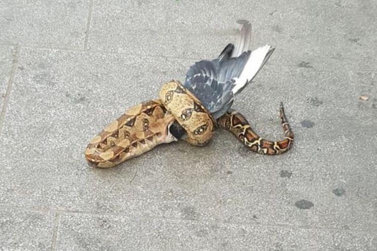 ular boa memangsa merpati di jalanan kota London