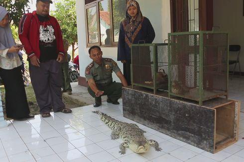 BBKSDA Amankan Buaya Muara, Kucing Hutan, dan Kukang Jawa yang Ditemukan Warga