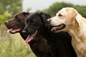 Alasan Anjing Labrador Cokelat Lebih Cepat Mati Dibanding Temannya