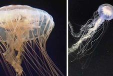 175 Tahun Manusia Anggap Semua Ubur-ubur Sama, Ternyata Itu Salah