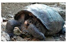 Kura-kura Raksasa yang Dianggap Punah Ditemukan Lagi di Ekuador