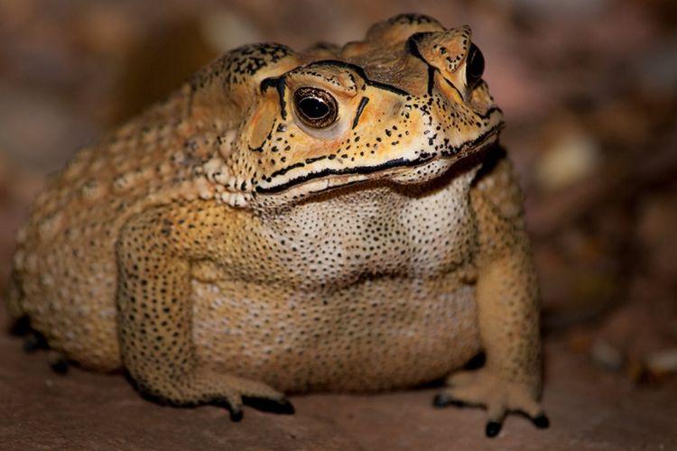 Kodok Asia telah berevolusi menjadi racun yang mematikan bagi predator di Madagaskar.