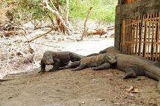 6 Fakta Komodo yang Gagal Diselundupkan, Disambut Upacara Adat hingga Dilepasliarkan di Pulau Ontoloe
