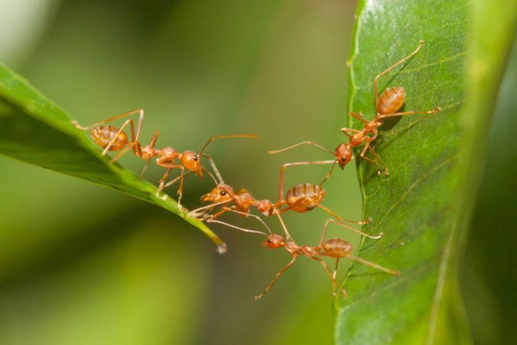 Ilustrasi semut membangun jembatan dengan tubuhnya