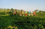 5 Kebun Teh yang Siap Bikin Liburan Lebih Asyik