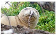 Saat Belut Tersangkut di Hidung Anjing Laut Hawaiian Monk