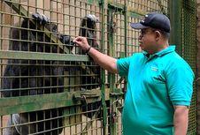 Gorila di Ragunan Kesal Diusili Pengunjung dan Dengar Suara Keras Ponsel