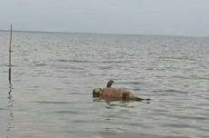 Dua Bangkai Dugong Mengapung di Tepi Pantai di Dumai