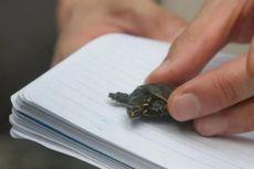 Pria AS Selundupkan Kura-Kura Mini yang Disamarkan dalam Bungkus Permen