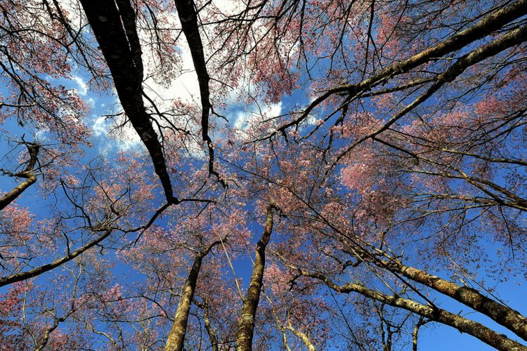 Sakura di Taman Nasional Khun Sathan
