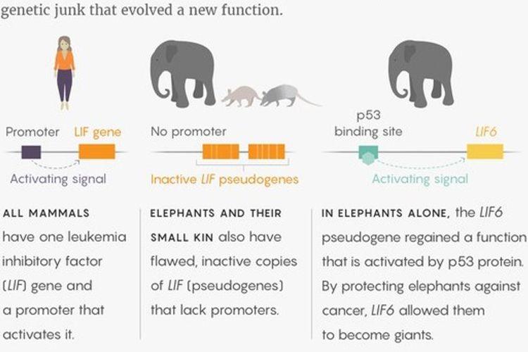 Gajah jarang terkena kanker karena sel-selnya melakukan bunuh diri saat ada petunjuk pertama adanya kelainan. Mereka mengandalkan LIF6, sepotong gen bekas yang mengembangkan fungsi baru.