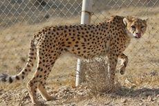 Tinggal 50 Ekor, Iran Berusaha Atasi Populasi Cheetah Asia
