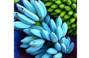 Mengenal 'Blue Java', Pisang Biru nan Lembut, Rasa Es Krim Vanila