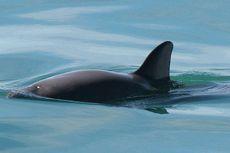 Vaquita, Lumba-lumba Terkecil Dunia di Ambang Kepunahan