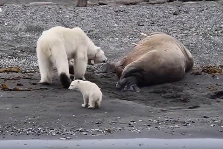Ibu beruang kutub mencoba mencium walrus yang sedang tidur.