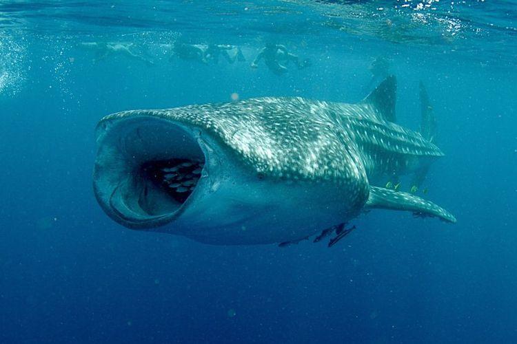 Hiu paus akan membuka mulutnya lebar-lebar ketika sedang menyantap hidangannya.