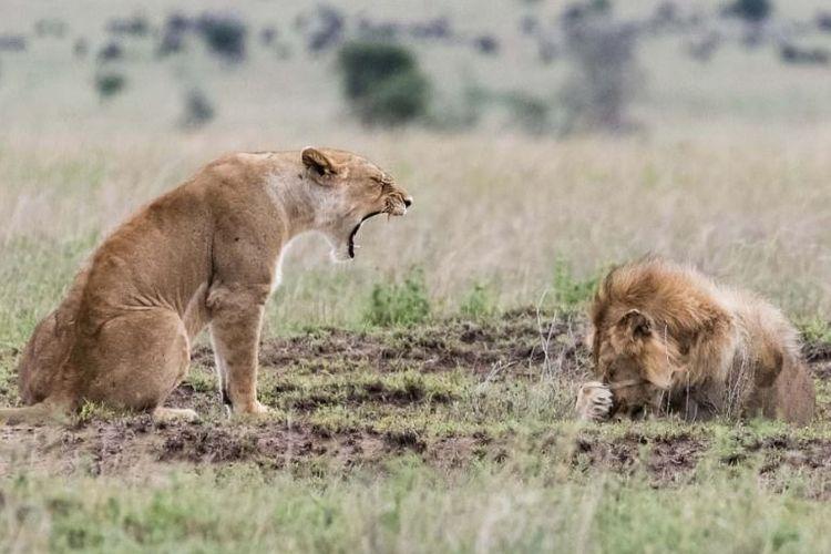 Fotografer George Hart mengabadikan momen unik saat seekor singa betina terlihat memarahi seekor singa jantan.