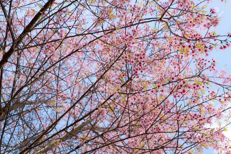 Sakura di Doi Mae Salong, Thailand