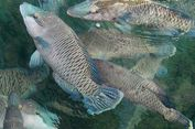 Ikan Napoleon Natuna dan Anambas Mulai Diekspor via Laut, Nilainya Rp 1 Miliar