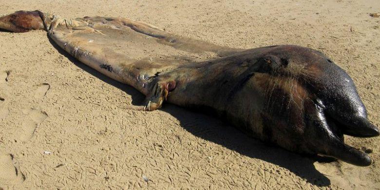 Paus Paruh Cuvier, hewan unik yang terdampar di Namibia
