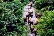 32 Ekor Gajah Liar Rusak Belasan Hektare Kebun Warga di Aceh