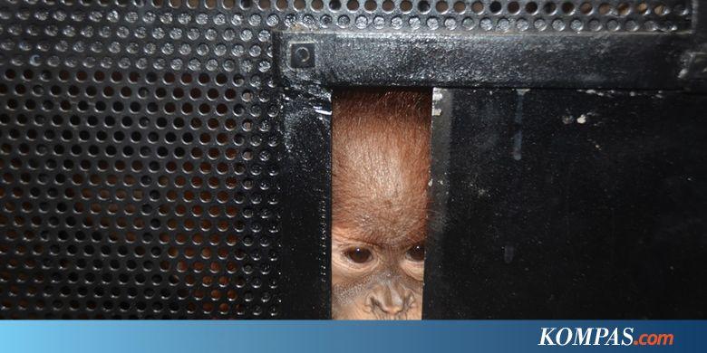 DYAN Selama 100 Tahun, Jumlah Orangutan Sumatera Turun 10 Kali Lipat