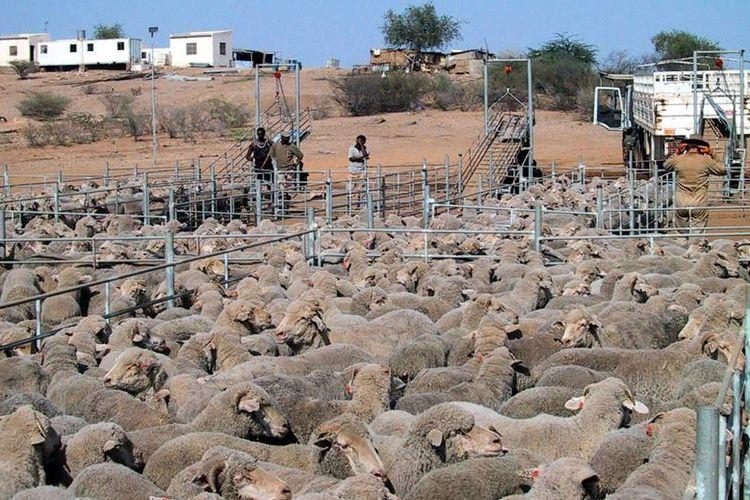 Domba Australia yang dikumpulkan di dataran tinggi di Eritrea setelah diturunkan dari kapal pengiriman.