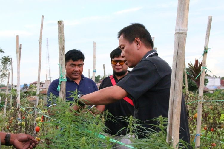 Pengambilan barang bukti ganja yang di tanam pelaku NG(53) di ladang miliknya, di Desa Semangat, Kecamatan Merdeka, Kabupaten Karo, Sumatera Utara