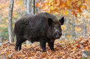 Polandia Bangun Pagar Sepanjang 1.235 Km demi Atasi Serbuan Babi Hutan
