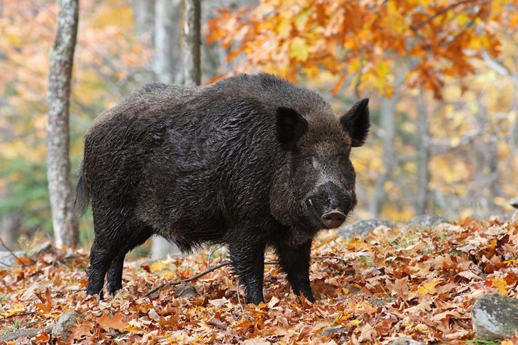 89+ Gambar Babi Hutan Di Tembak Paling Bagus