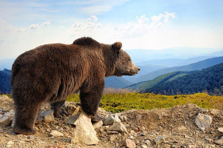 Beruang cokelat.
