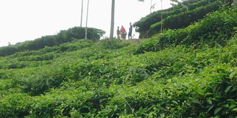 Di Kecamatan Limbangan, Kendal, Jawa Tengah, ada kebun teh yang luasnya sekitar 386 hektar. Namanya kebun teh Medini. Kebun teh yang sudah ada sejak jaman kolonial Belanda itu berada di sisi utara gunung Ungaran, tepatnya di Desa Ngesrep Balong, Kecamatan Limbangan.