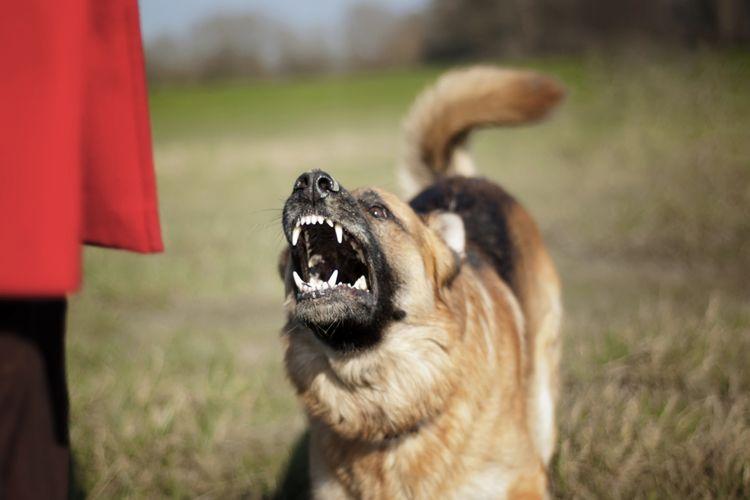 Seekor anjing dengan postur siap menyerang