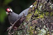 Di RTH Ini Ditemukan Koloni Burung Gelatik Jawa Terbesar di Luar Jawa