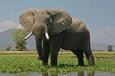 Sedang Berenang, Turis Kaget Saat Gajah Datang Menghampiri.