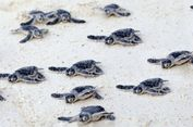 Sama-sama Bisa Hidup di 2 Alam, Kenali Bedanya Penyu dan Kura-kura