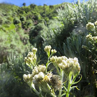 Bunga edelweiss di Merbabu
