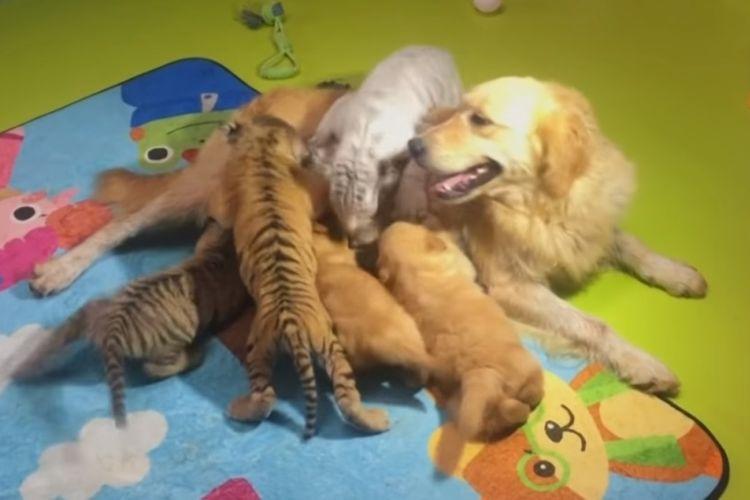 Anjing golden retriever betina di Kebun Binatang China ini menjadi induk pengganti bagi anak harimau, singa, bahkan hyena.