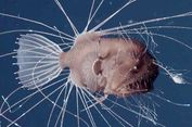 Pertama di Dunia, Video Tangkap Ngerinya Perkawinan Ikan Anglerfish