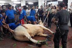 16 Orang Dikerahkan untuk Taklukkan Sapi Kurban Jokowi di Masjid Istiqlal