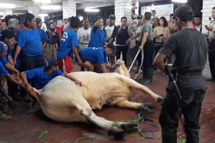 16 orang dikerahkan untuk menaklukan sapi milik Jokowi di Masjid Istiqlal, Jakarta Pusat, Rabu (22/8/2018).
