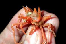 Bukti Kekayaan Nusantara, Ekspedisi Selat Sunda Ungkap 12 Spesies Baru