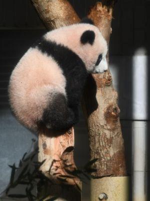 Baby panda Xiang Xiang bermain di kandangnya di Kebun Binatang Ueno, Tokyo, Jepang, pada Senin (18/12/2017). (AFP/Toshifumi Kitamura)