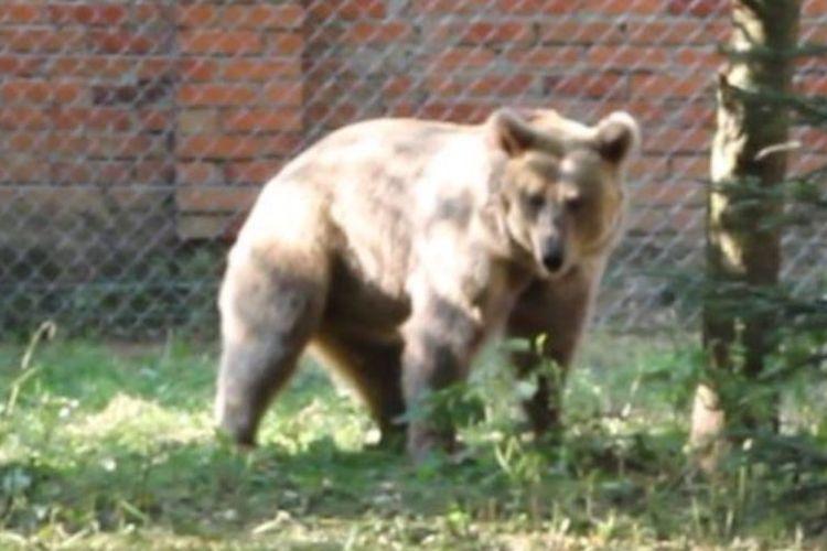 Masha si beruang sirkus yang akhirnya bebas di dalam penangkaran di Ukraina.