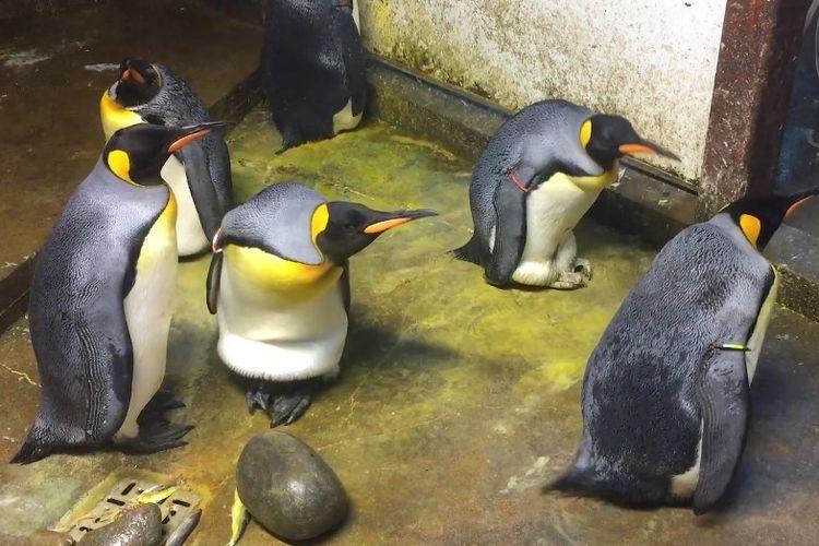 Pasangan penguin gay culik bayi penguin