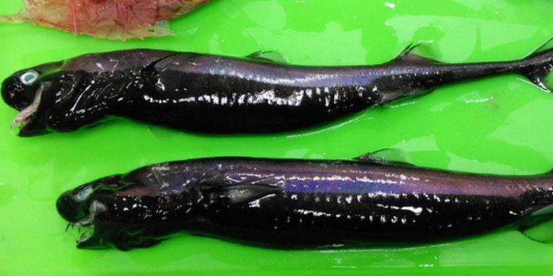 Ikan hiu lentera bernama viper dogfish ini bisa memanjangkan rahangnya untuk melahap ikan yang ukurannya besar.